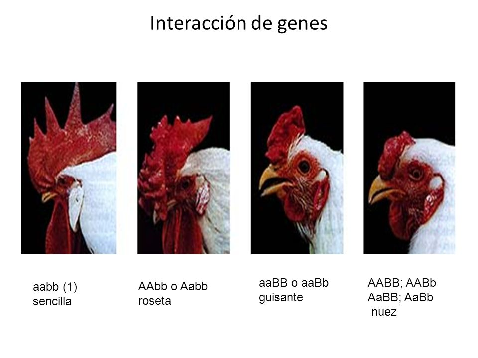 Interacción de genes aaBB o aaBb guisante AABB; AABb AaBB; AaBb nuez
