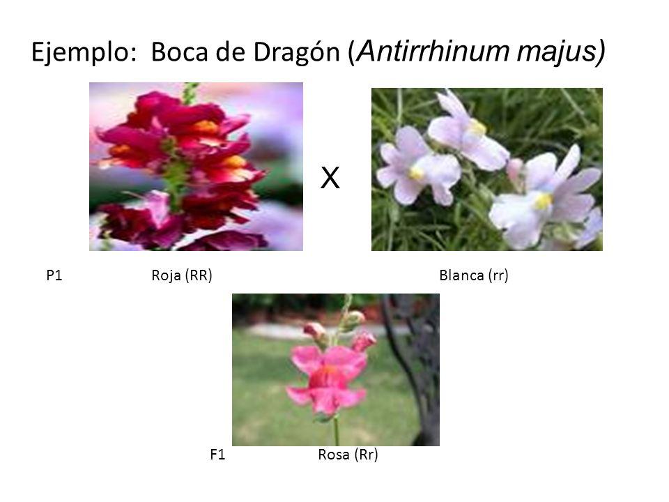 Ejemplo: Boca de Dragón (Antirrhinum majus)