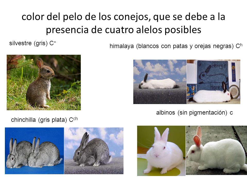 color del pelo de los conejos, que se debe a la presencia de cuatro alelos posibles