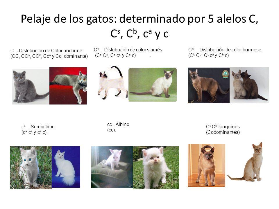 Pelaje de los gatos: determinado por 5 alelos C, Cs, Cb, ca y c