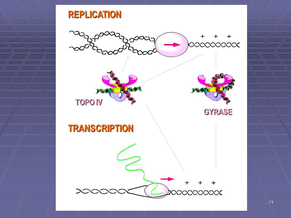 REPLICATION TOPO IV GYRASE TRANSCRIPTION