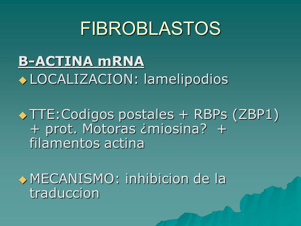 FIBROBLASTOS B-ACTINA mRNA LOCALIZACION: lamelipodios