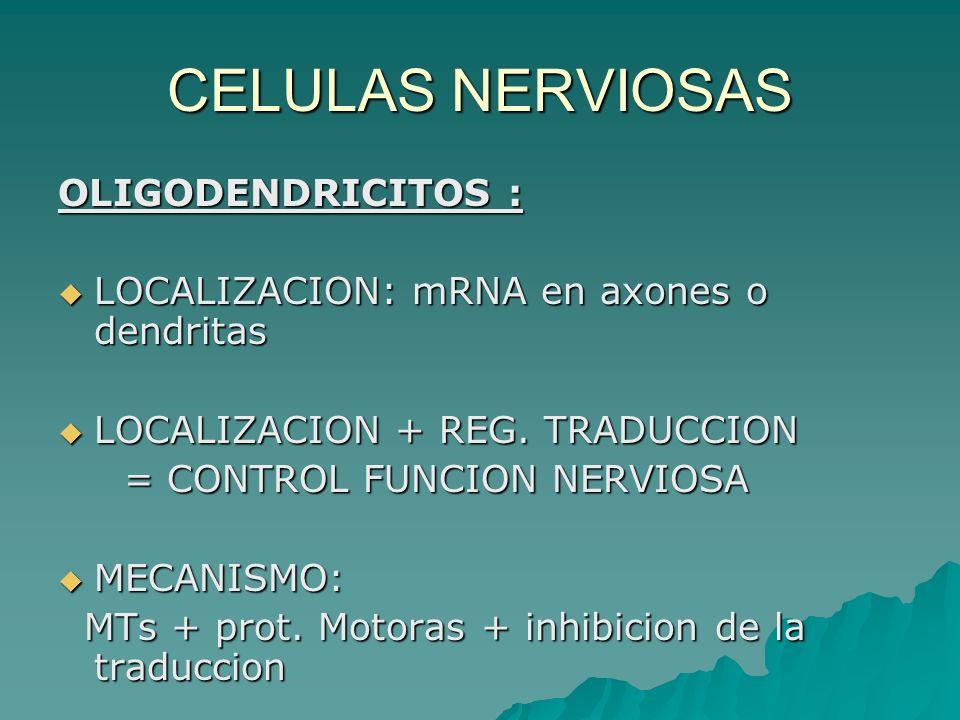 CELULAS NERVIOSAS OLIGODENDRICITOS :
