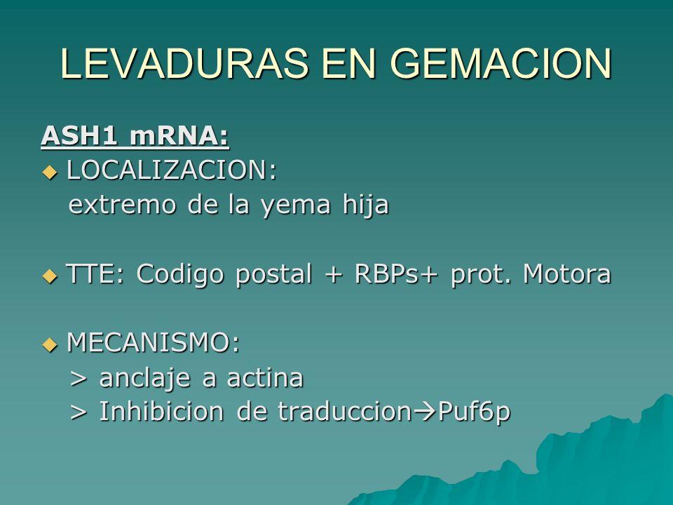 LEVADURAS EN GEMACION ASH1 mRNA: LOCALIZACION: extremo de la yema hija