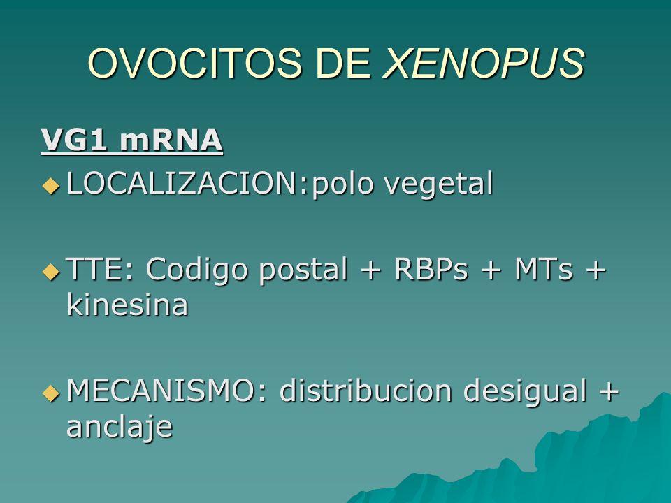 OVOCITOS DE XENOPUS VG1 mRNA LOCALIZACION:polo vegetal