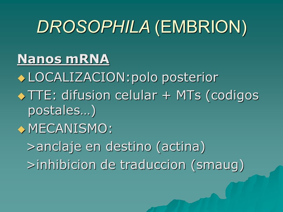 DROSOPHILA (EMBRION) Nanos mRNA LOCALIZACION:polo posterior