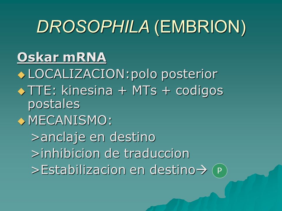 DROSOPHILA (EMBRION) Oskar mRNA LOCALIZACION:polo posterior