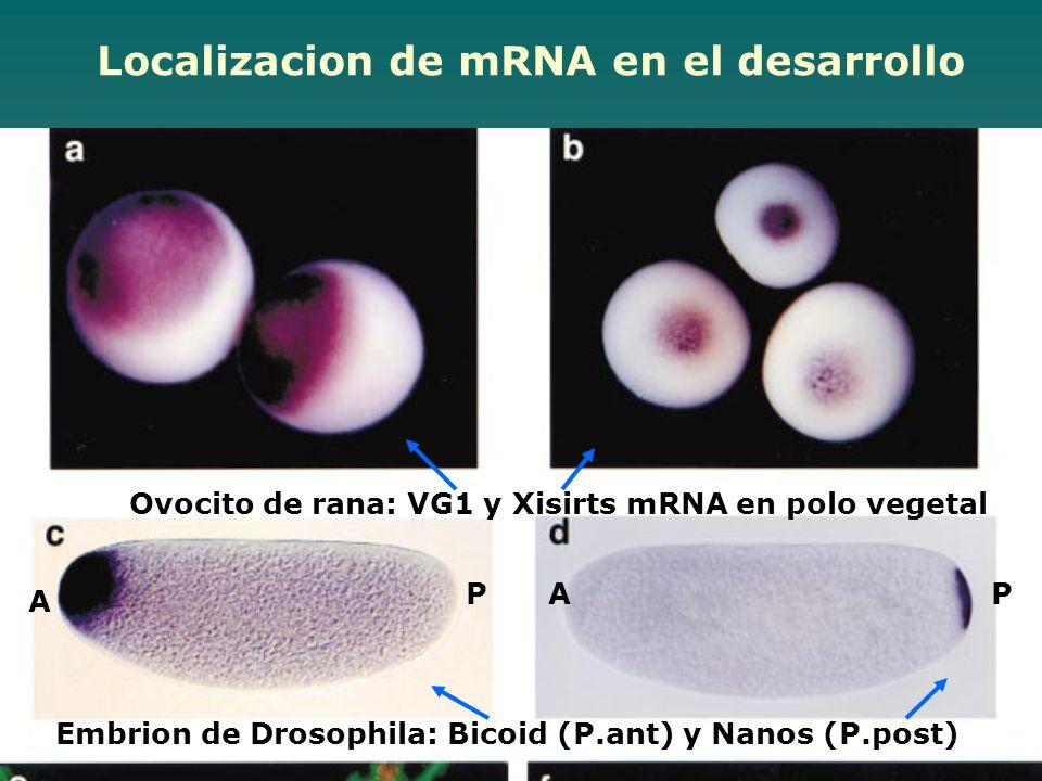 Localizacion de mRNA en el desarrollo
