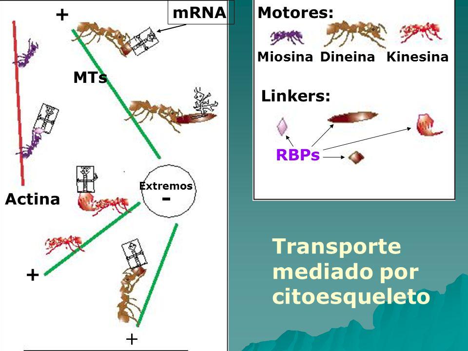Transporte mediado por citoesqueleto