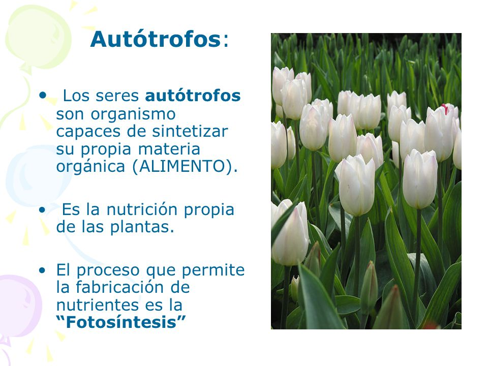 Autótrofos: Los seres autótrofos son organismo capaces de sintetizar su propia materia orgánica (ALIMENTO).