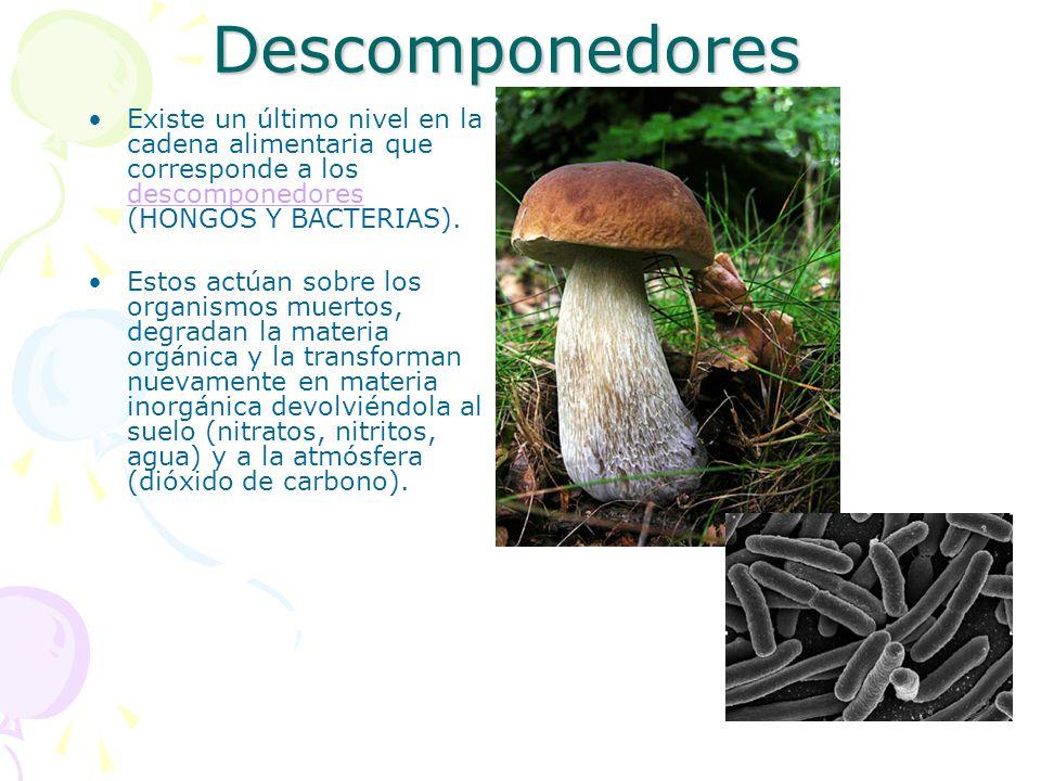 Descomponedores Existe un último nivel en la cadena alimentaria que corresponde a los descomponedores (HONGOS Y BACTERIAS).