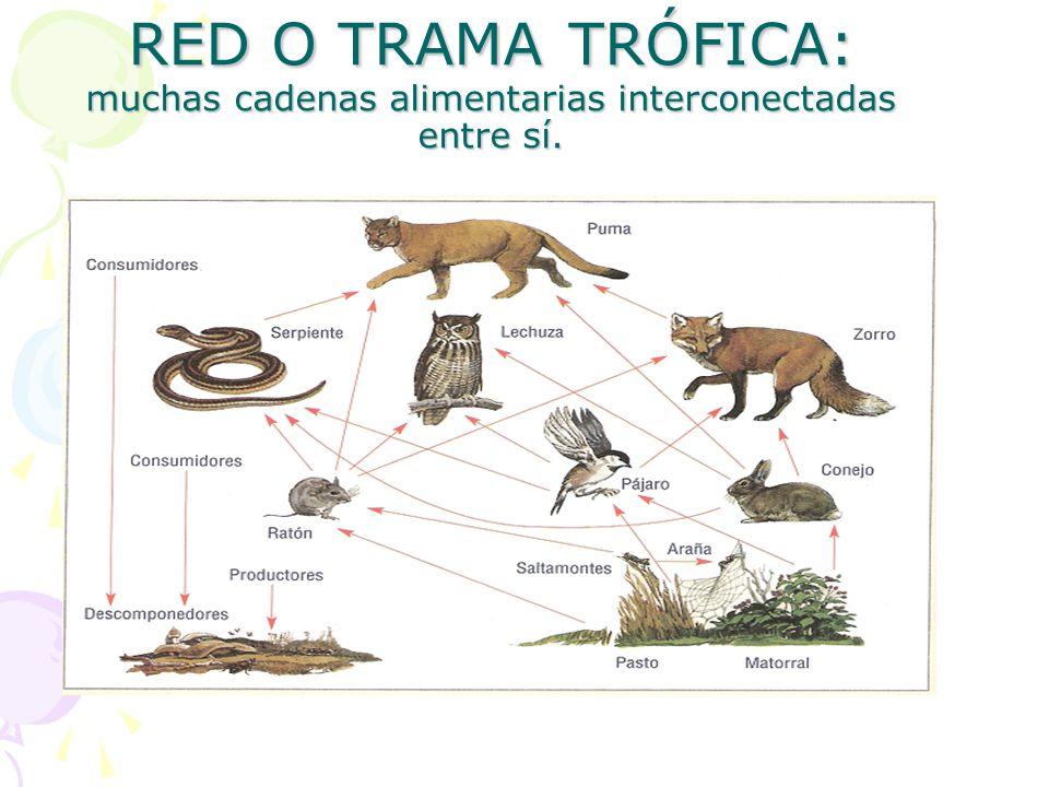 RED O TRAMA TRÓFICA: muchas cadenas alimentarias interconectadas entre sí.