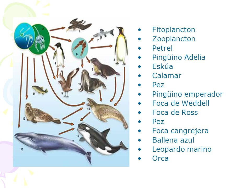 Fitoplancton Zooplancton. Petrel. Pingüino Adelia. Eskúa. Calamar. Pez. Pingüino emperador. Foca de Weddell.