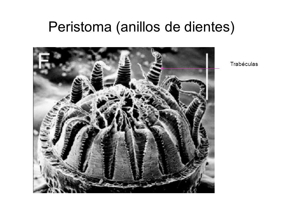 Peristoma (anillos de dientes)