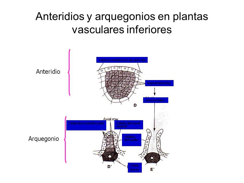 Anteridios y arquegonios en plantas vasculares inferiores