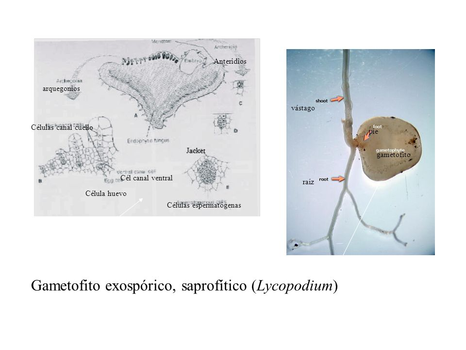 Gametofito exospórico, saprofítico (Lycopodium)