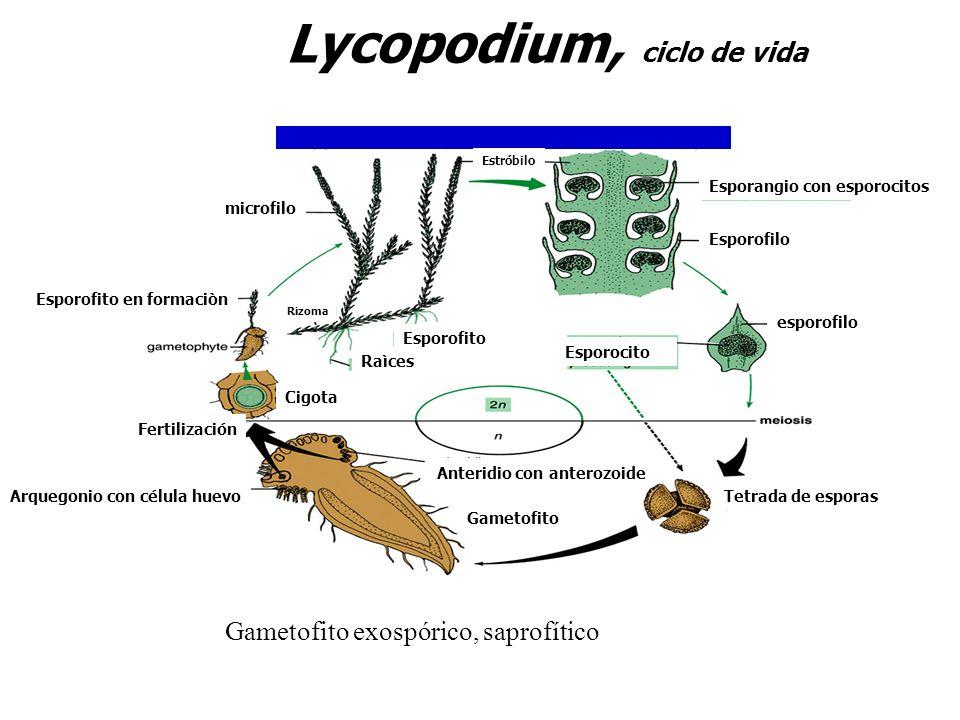 Lycopodium, ciclo de vida