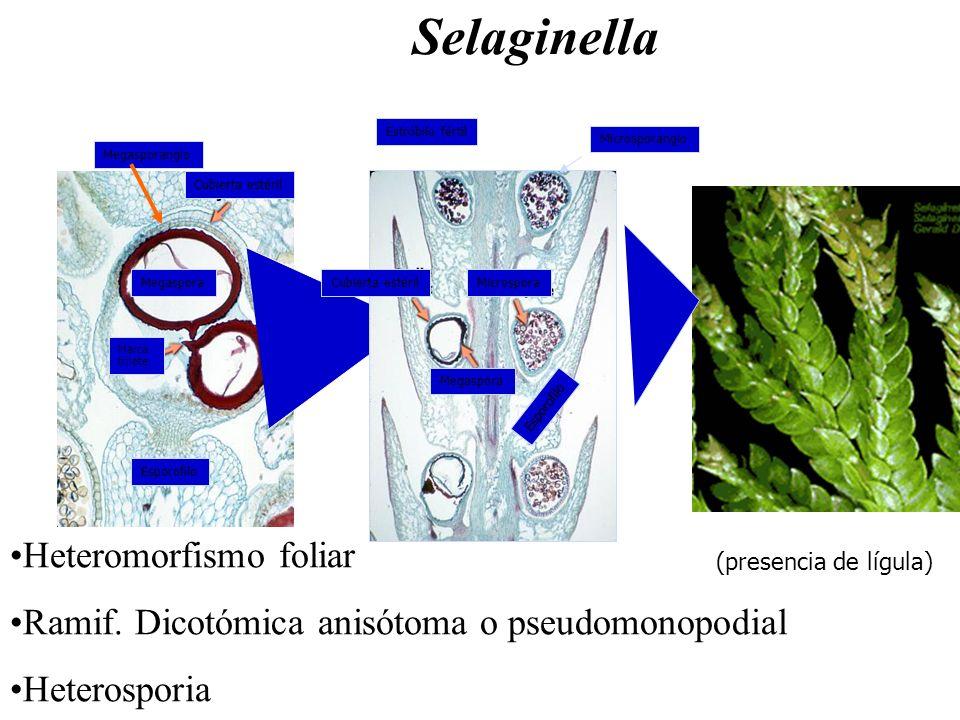 Selaginella Heteromorfismo foliar