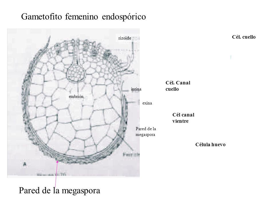 Gametofito femenino endospórico
