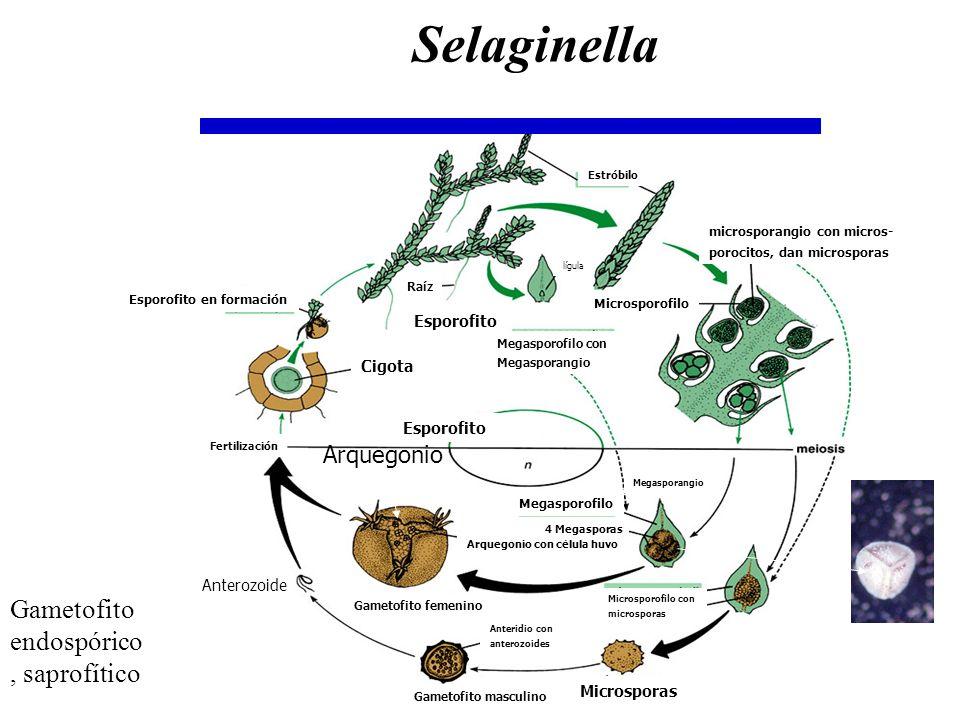 Selaginella Gametofito endospórico, saprofítico Arquegonio Cigota