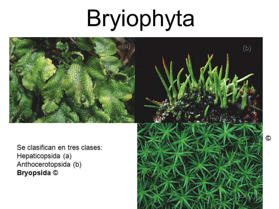 Bryiophyta (a) (b) © Se clasifican en tres clases: Hepaticopsida (a)