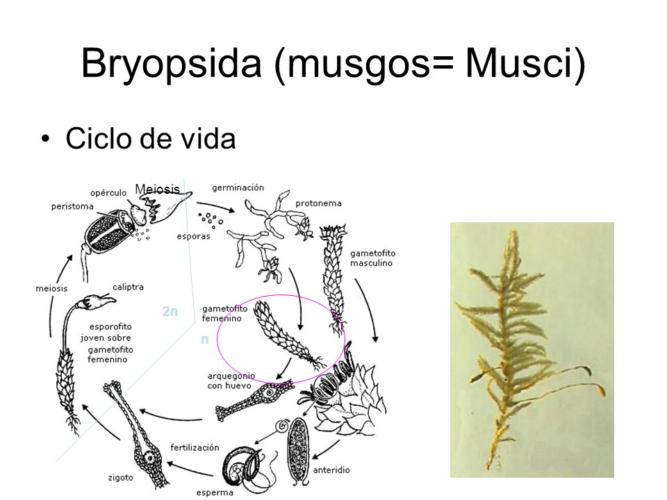 Bryopsida (musgos= Musci)