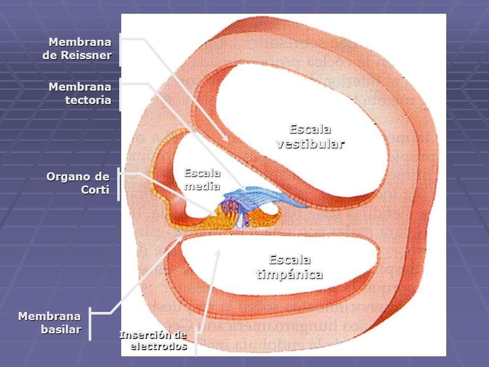 Escala vestibular Escala timpánica