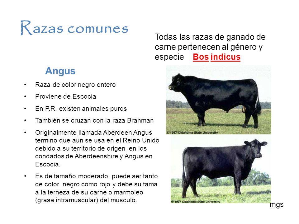 Razas comunes Todas las razas de ganado de carne pertenecen al género y especie Bos indicus. Angus.