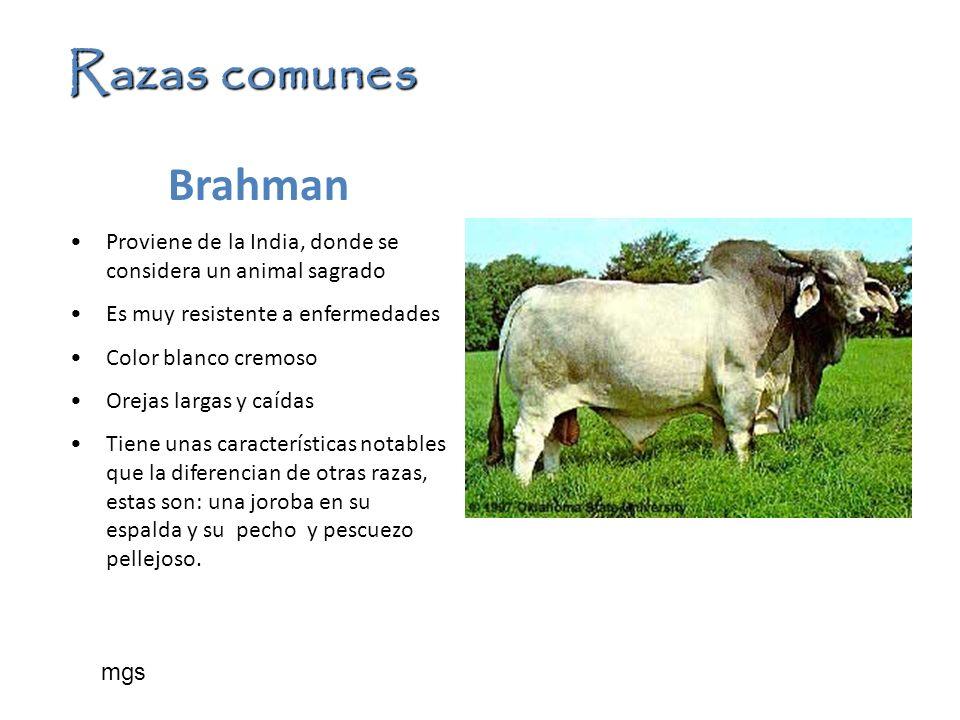Razas comunesBrahman. Proviene de la India, donde se considera un animal sagrado. Es muy resistente a enfermedades.