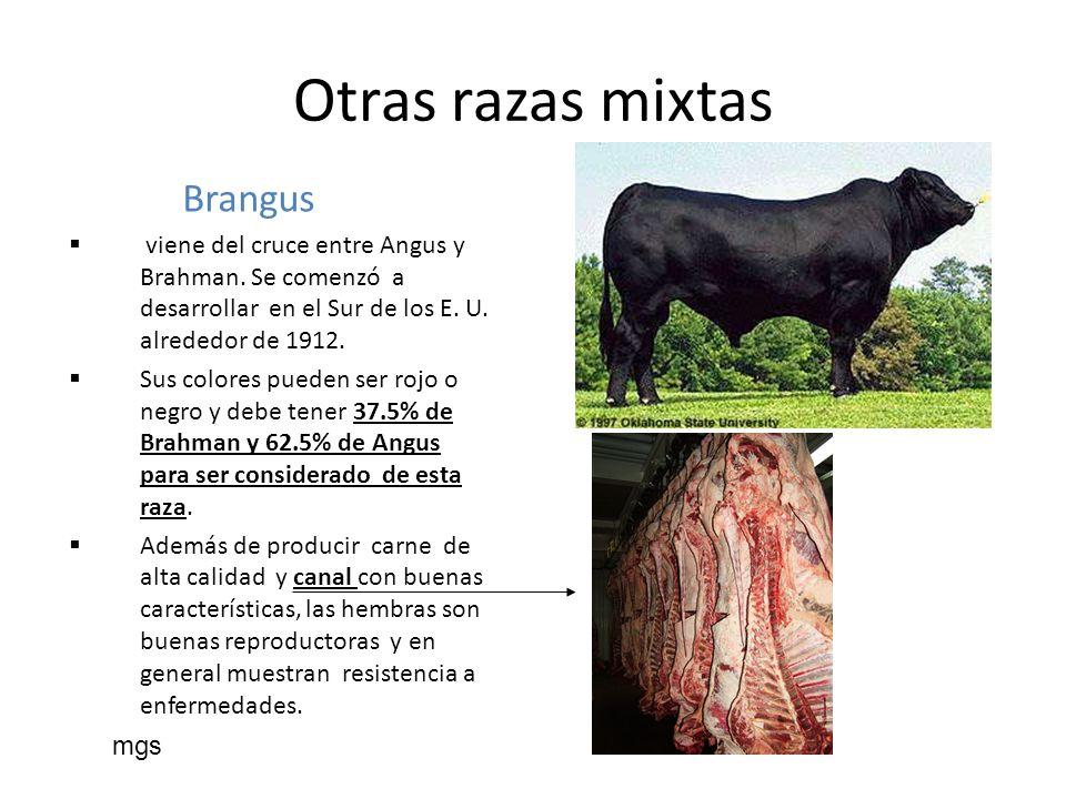 Otras razas mixtas Brangus