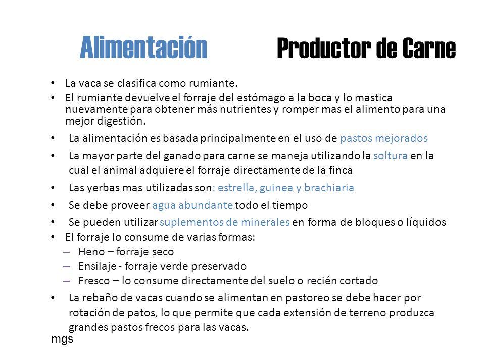 Alimentación Productor de Carne La vaca se clasifica como rumiante.