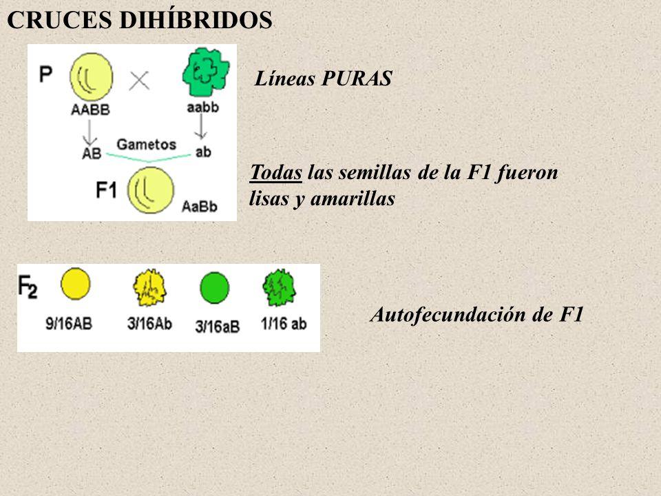 CRUCES DIHÍBRIDOS Líneas PURAS