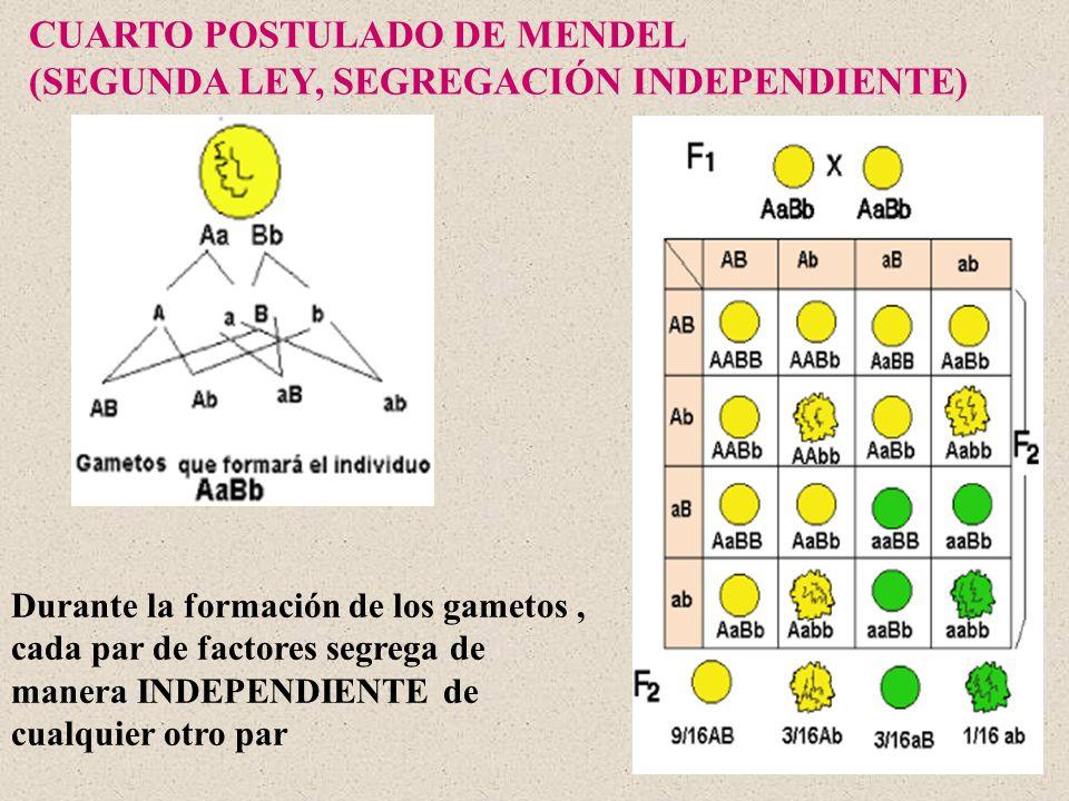 CUARTO POSTULADO DE MENDEL (SEGUNDA LEY, SEGREGACIÓN INDEPENDIENTE)