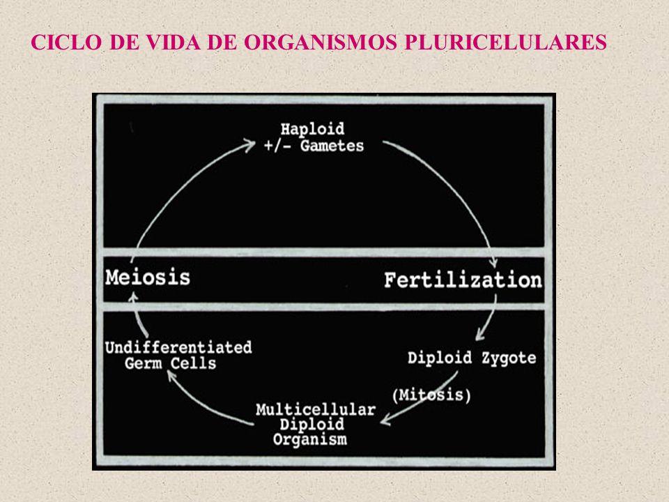CICLO DE VIDA DE ORGANISMOS PLURICELULARES