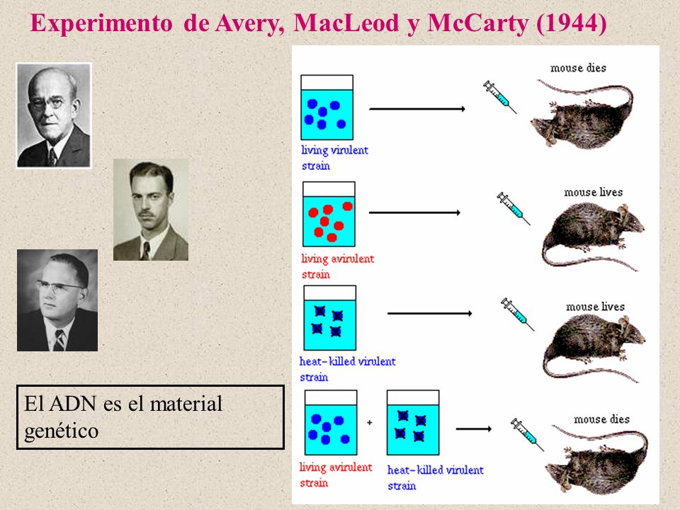 Experimento de Avery, MacLeod y McCarty (1944)