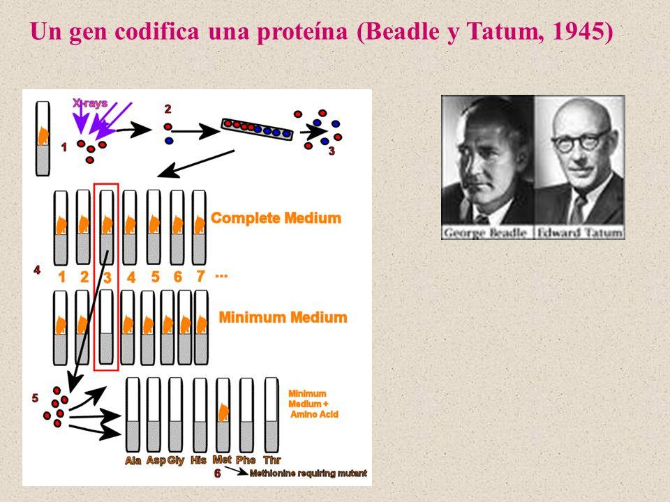 Un gen codifica una proteína (Beadle y Tatum, 1945)