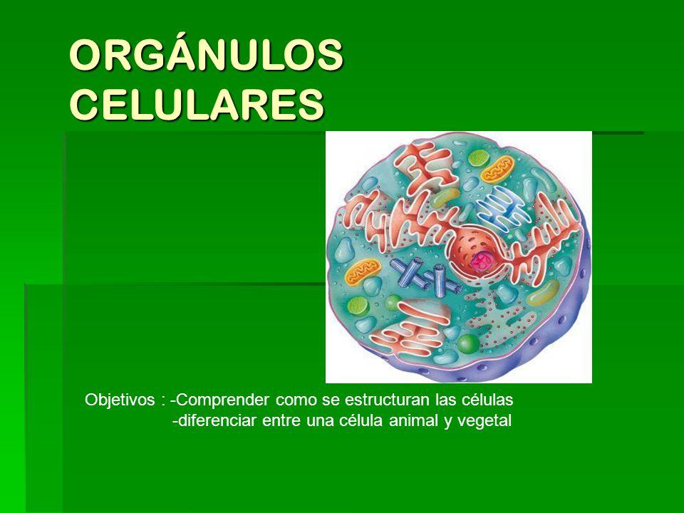 Orgánulos Celulares Objetivos Comprender Como Se Estructuran Las Células Diferenciar Entre Una Célula Animal Y Vegetal