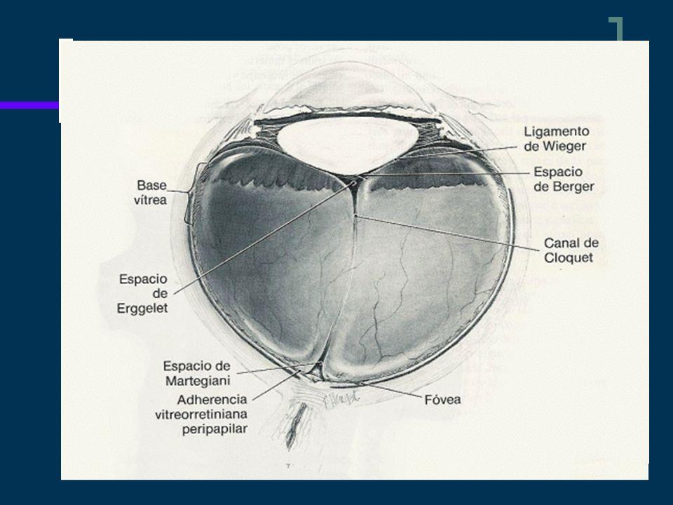 La superficie anterior del vítreo se adhiere a la cápsula posterior del cristalino en una zona circular de unos 8 mm de diámetro (ligamento de Wieger).