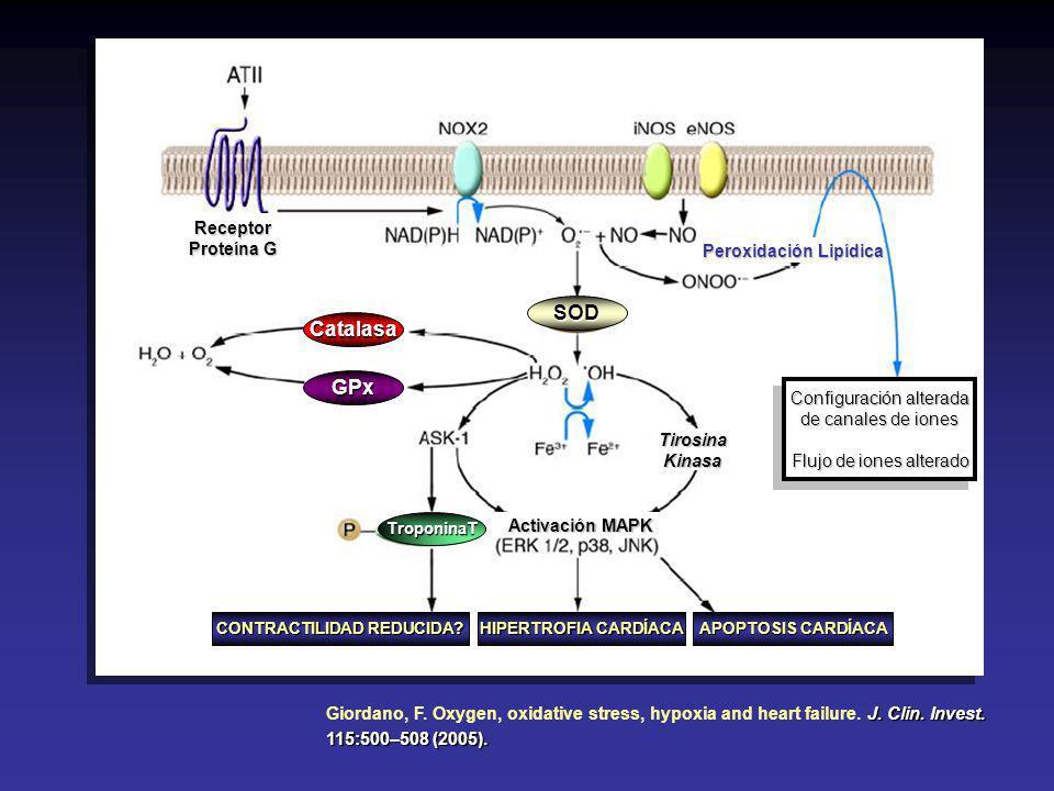 Peroxidación Lipídica CONTRACTILIDAD REDUCIDA