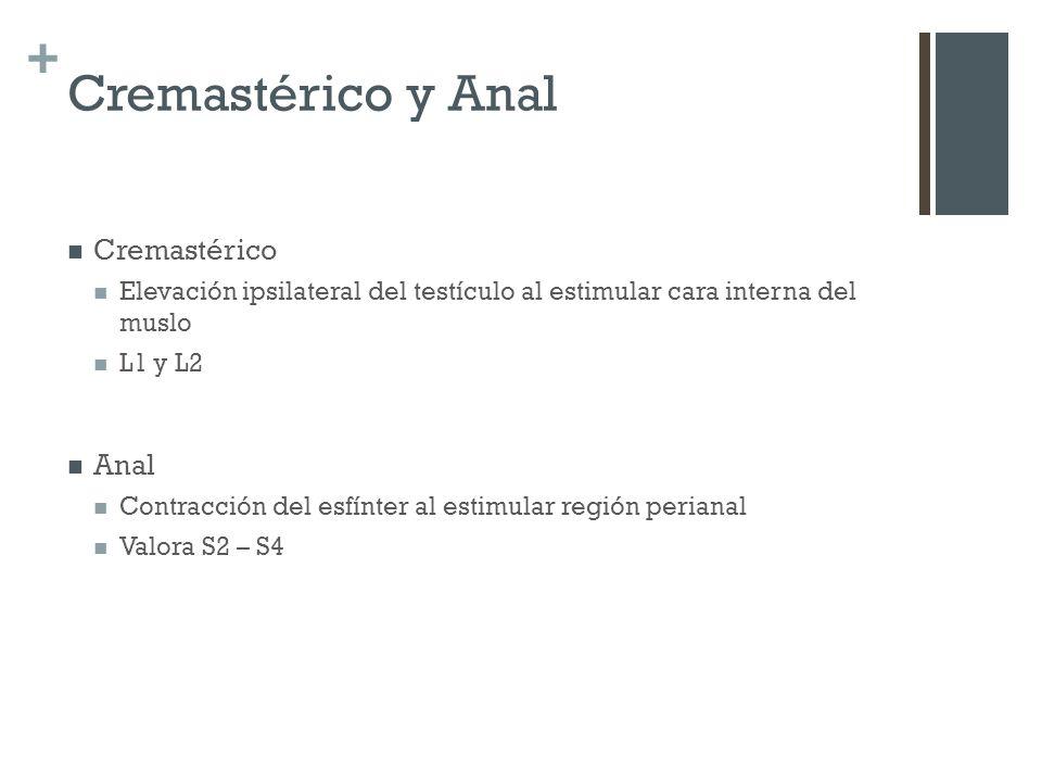 Cremastérico y Anal Cremastérico Anal