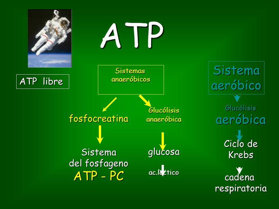 ATP Sistema aeróbico aeróbica ATP - PC ATP libre fosfocreatina