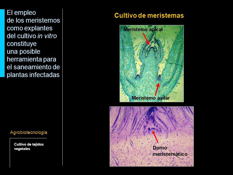 de los meristemos como explantes del cultivo in vitro constituye
