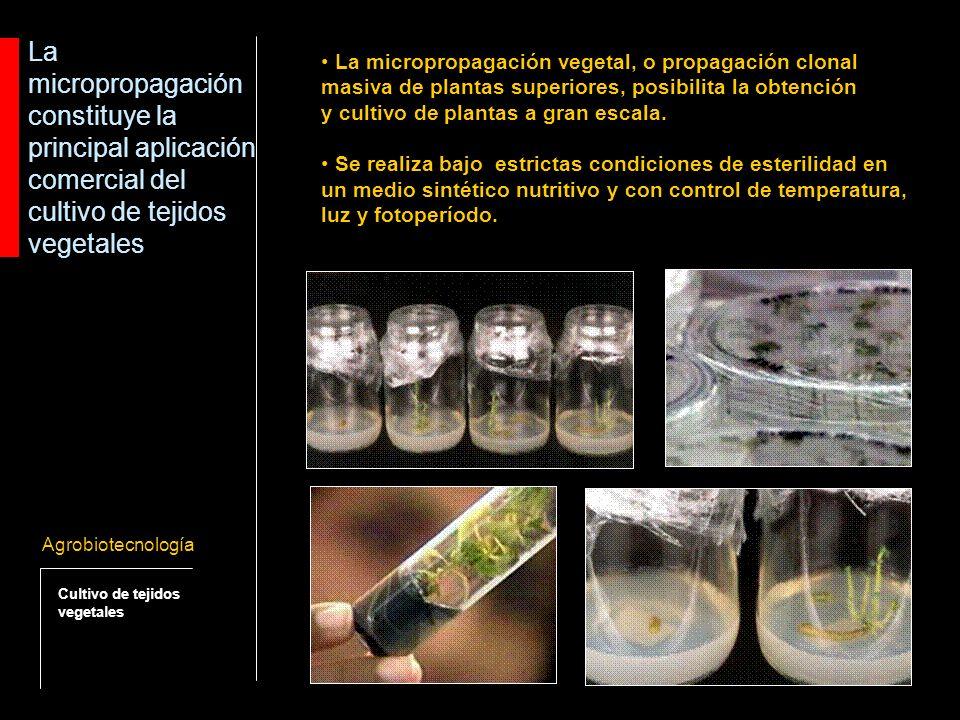 La micropropagación constituye la principal aplicación comercial del cultivo de tejidos vegetales