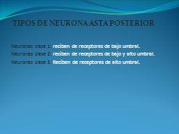 TIPOS DE NEURONA ASTA POSTERIOR