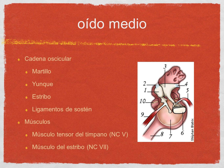 oído medio Cadena oscicular Martillo Yunque Estribo