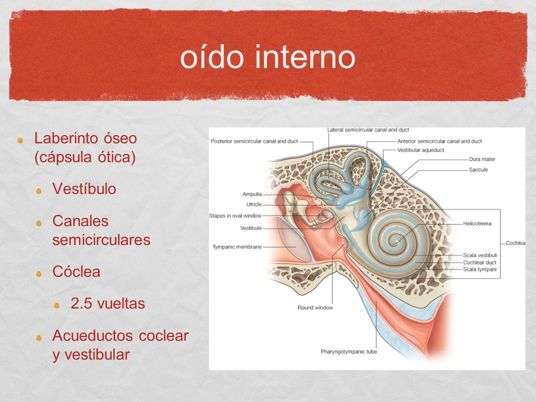 oído interno Laberinto óseo (cápsula ótica) Vestíbulo