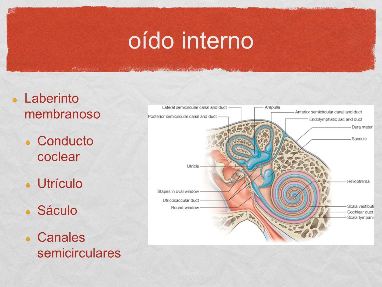 oído interno Laberinto membranoso Conducto coclear Utrículo Sáculo