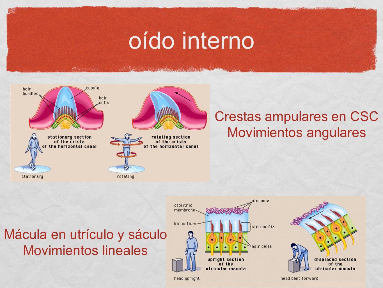 oído interno Crestas ampulares en CSC Movimientos angulares