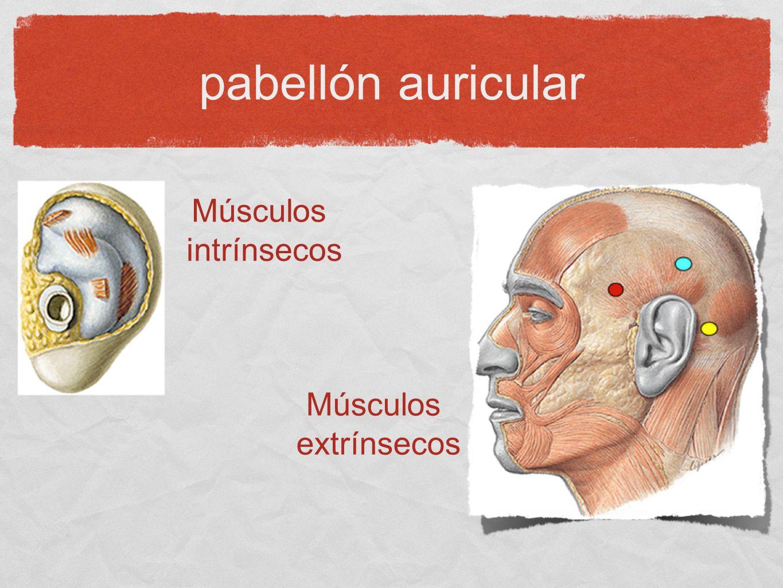 pabellón auricular Músculos intrínsecos Músculos extrínsecos