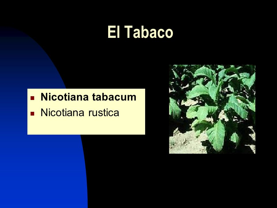 El Tabaco Nicotiana tabacum Nicotiana rustica